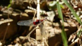 Красный dragonfly Стоковое Изображение RF