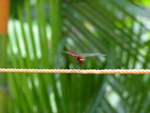 Красный dragonfly стоковые фотографии rf