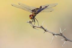 Красный dragonfly saddlebag сидя на хворостине Стоковые Фото