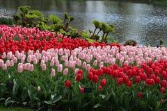 Красный en поднял тюльпаны в Keukenhof стоковые изображения rf