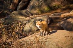Красный Fox в естественной среде обитания Стоковые Фото