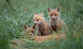 Красный Fox в Нью-Джерси стоковая фотография rf