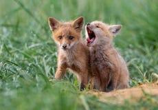 Красный Fox в Нью-Джерси стоковое фото rf