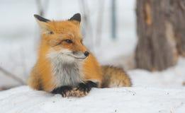 Красный Fox - лисица лисицы, здоровый образец в его среде обитания в древесинах Стоковое Фото