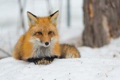 Красный Fox - лисица лисицы, здоровый образец в его среде обитания в древесинах Стоковая Фотография