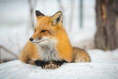 Красный Fox - лисица лисицы, здоровый образец в его среде обитания в древесинах Стоковые Изображения