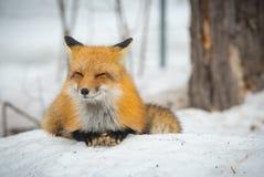 Красный Fox - лисица лисицы, здоровый образец в его среде обитания в древесинах Стоковые Фото
