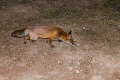 Красный Fox - лисица лисицы Стоковые Изображения RF
