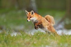 Красный Fox скача, лисица лисицы, сцена живой природы от Европы Оранжевое животное меховой шыбы в среду обитания природы Fox на з стоковое фото