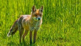 Красный Fox Стоковое фото RF