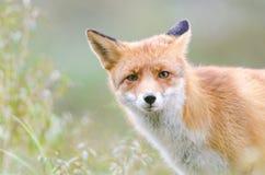 Красный Fox Стоковое Изображение RF
