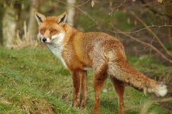 Красный Fox Стоковая Фотография