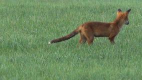 Красный Fox акции видеоматериалы