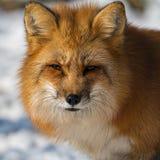 Красный Fox стоковые изображения rf