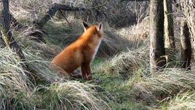 Красный Fox сток-видео
