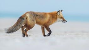 Красный Fox стоковые фотографии rf