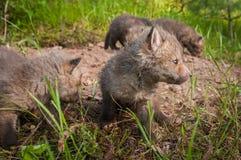 Красный Fox & x28; Vulpes& x29 лисицы; Наборы филируют вокруг вертепа Стоковая Фотография RF