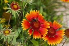 Красный Gaillardia цветка Стоковые Изображения