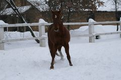 Красный gelding со звездой в играх лба стоковые изображения