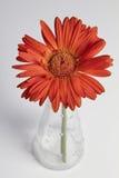 Красный gerbera в вазе Стоковая Фотография