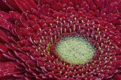 Красный gerbera в падениях росы Стоковое фото RF