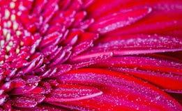 Красный gerbera в падениях росы Стоковые Изображения RF