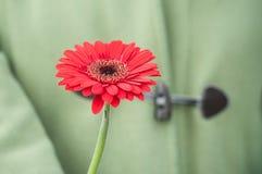 красный gerbera в руке на зеленой предпосылке пальто Стоковые Фотографии RF