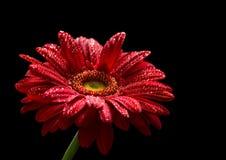 Красный gerbera изолированный на черной предпосылке Стоковое Фото