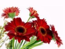 Красный gerbera Стоковое Изображение RF
