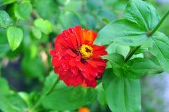 Красный gerbera Стоковые Изображения
