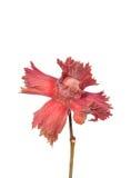 Красный hazel стоковое изображение rf