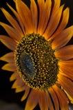 Красный Heirloom солнцецвета стоковое фото rf