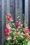 Красный Hollyhock Стоковое Фото