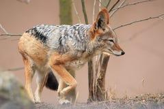 Красный jackal стоковые фотографии rf