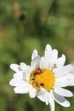 Красный Ladybug на большой белой маргаритке стоковые изображения rf