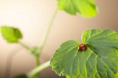 Красный ladybug на зеленых лист, ladybird проползает на стержне завода в s стоковые изображения rf