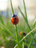 Красный ladybug на свежей зеленой траве Стоковая Фотография