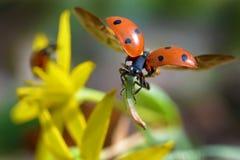Красный ladybug Стоковое фото RF