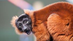 Красный lemur стоковые изображения