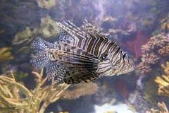 Красный Lionfish Стоковое Изображение RF