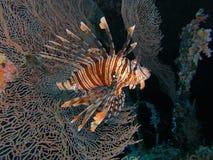Красный Lionfish Стоковое Изображение