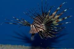 Красный Lionfish Volitan Стоковое Изображение
