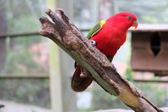 Красный Lory Стоковое фото RF