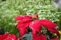 Красный Poinsettia Стоковое Изображение