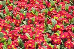 Красный Primula Стоковые Фотографии RF