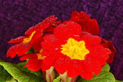 Красный primula Стоковые Изображения