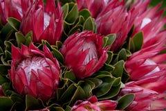 Красный Protea Стоковая Фотография