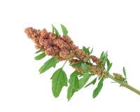 Красный quinoa стоковое изображение rf