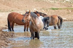 Красный Roan жеребец в waterhole с табуном диких лошадей в ряде дикой лошади гор Pryor в Монтане США Стоковые Изображения