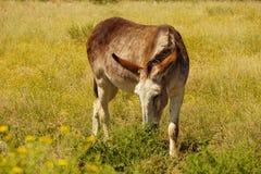 Красный roan burro Стоковое фото RF